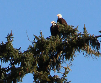 UCC resident bald eagles