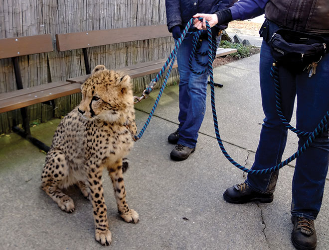 Wildlife Safari keepers walk the cheetah, allowing visitors to observe up close.